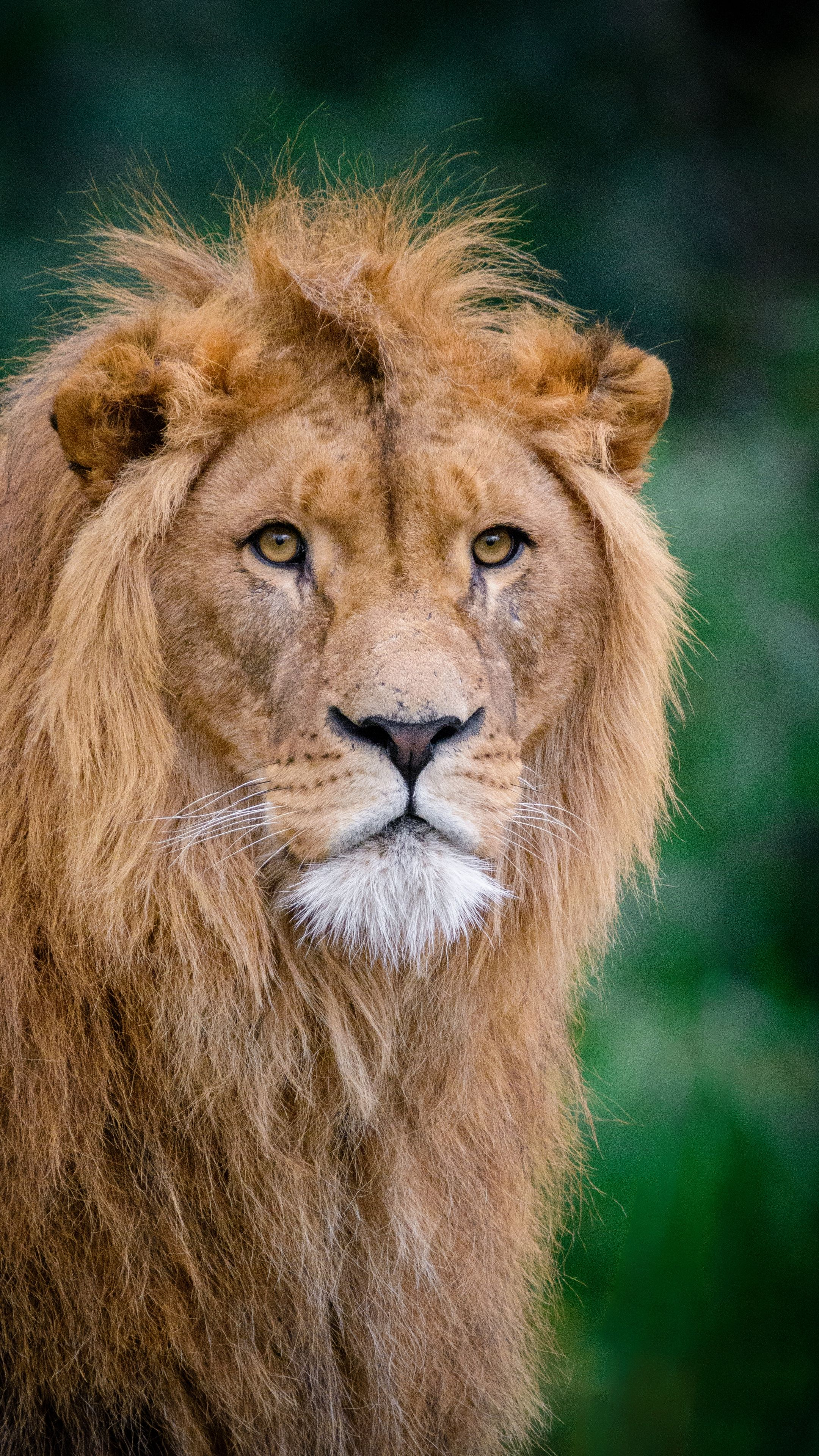 Animals Lion Kingofbeasts Muzzle Wallpapers Hd 4k Background For