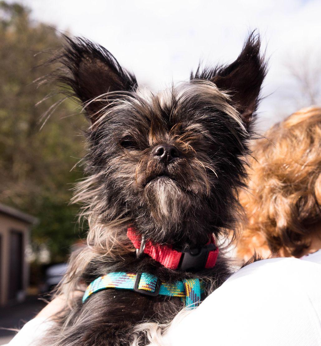 ShiChi dog for Adoption in Birdsboro, PA. ADN700405 on
