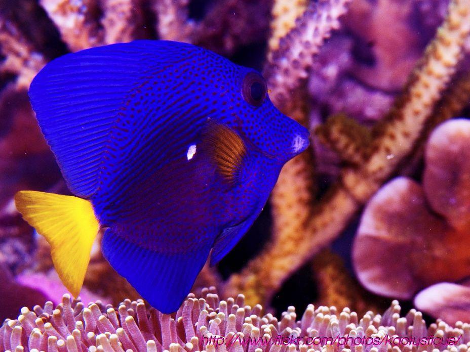 Zebrasoma Xanthurum Purple Tang Fish Pet Fish Red Sea