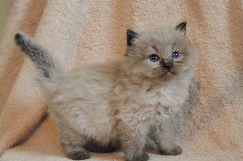 Seal Colorpoint Mink Baby Ragdoll Cat Cats And Kittens Kittens Cutest