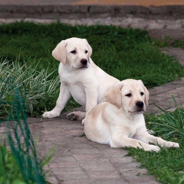 If You Love Labradors Visit Our Blog Labrador Labradorretriever Labradorcentral Retrievers Credits Unknown Labrador Retriever Retriever Labrador