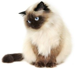 Compare Himalayan Cat Pet Insurance Plans And Quotes Himalayan