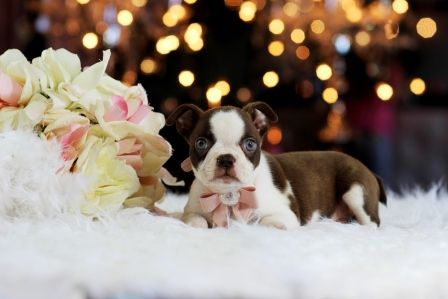 Blue Eyed Boston Terrier Briley For Sale Call Now For