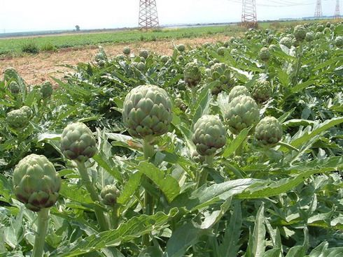 How to Grow Artichokes From Cuttings or Offsets