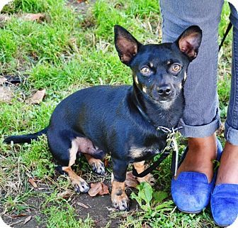 New York Ny Chihuahua Dachshund Mix Meet Ben A Dog For Adoption I M Being Cared For By Waggytail Rescue