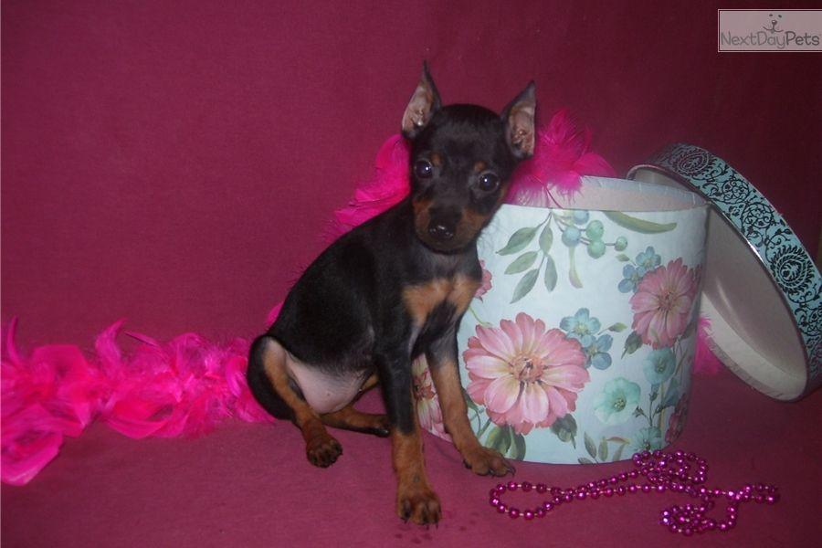 Miniature Pinscher Puppy For Sale Near Joplin Missouri 730eeff8