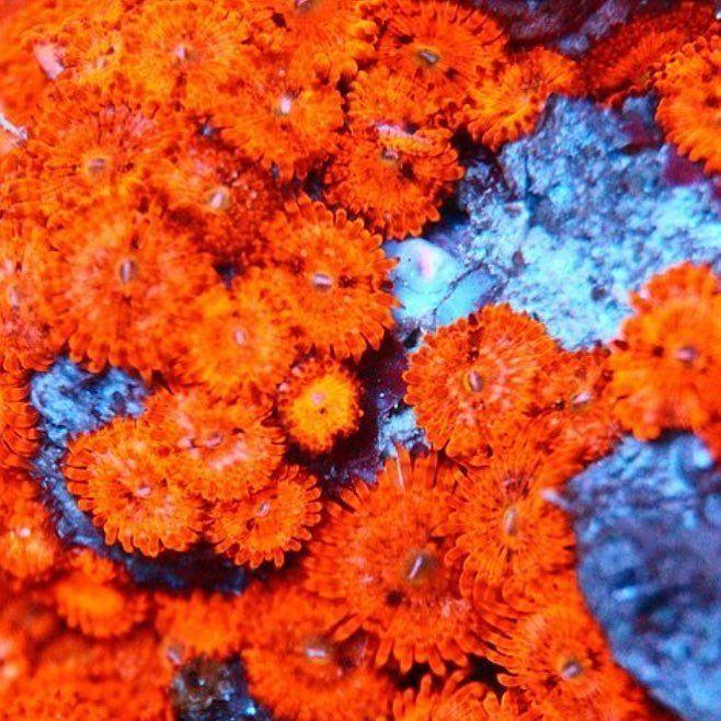 @nemoaquamarine seriously cool colony!  #polyplab . . . #coral #reeftank #coralreeftank #reef #reefpack #reef2reef #reefcandy #reefersdaily #reefrEVOLution #coralreef #coraladdict #reefaholiks #reefjunkie #reeflife #instareef  #allmymoneygoestocoral #instareef  #reefpackworldwide #ilovemyreef #rarecorals #reefing #exoticcorals #reefporn #reeferdise #reefers4reefers #coralporn #aquarium #polyplab