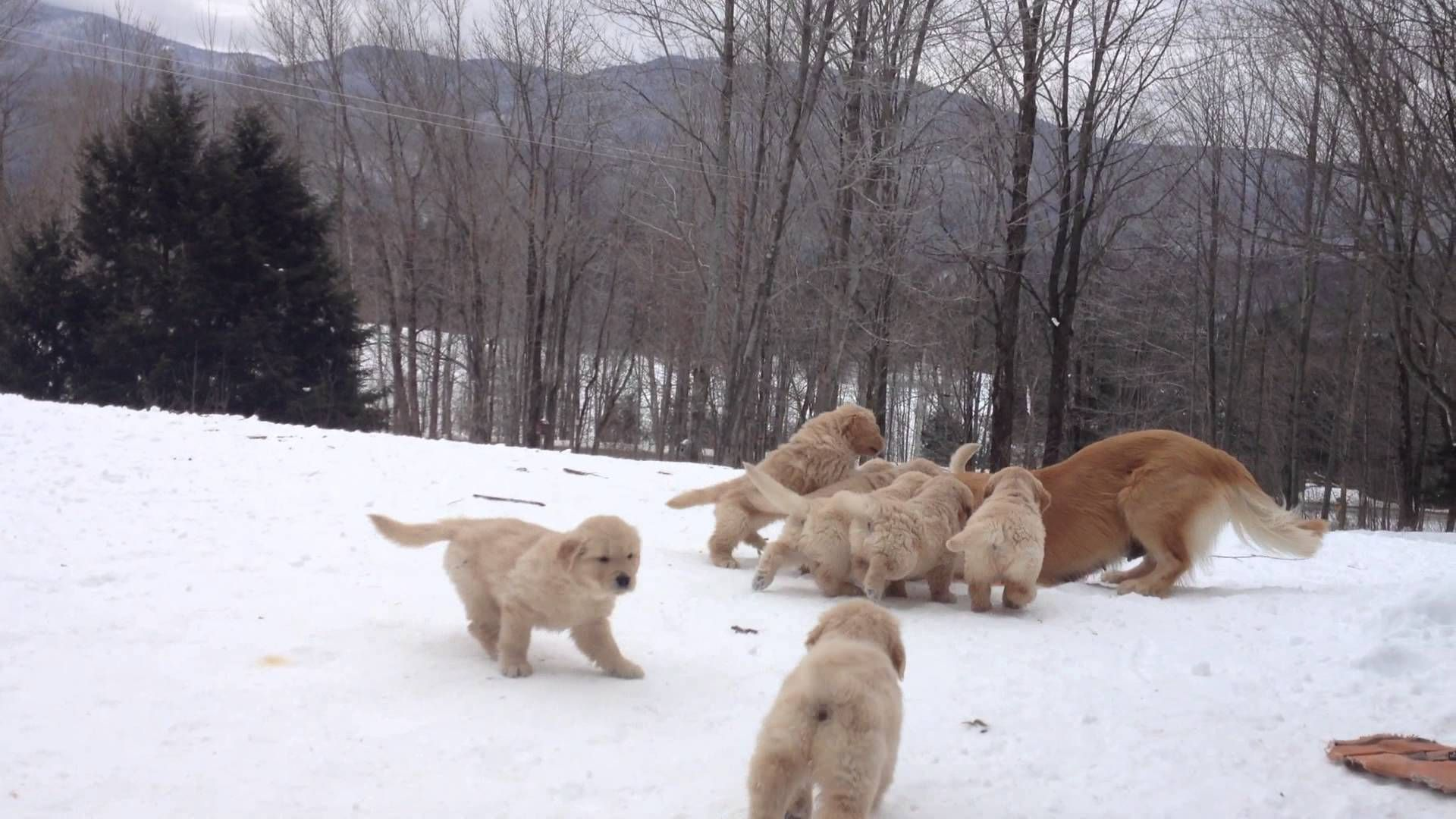 Golden retriever puppies play in the snow too much
