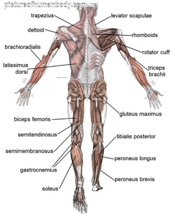 the body | picture of the human body with labels | my body and, Muscles