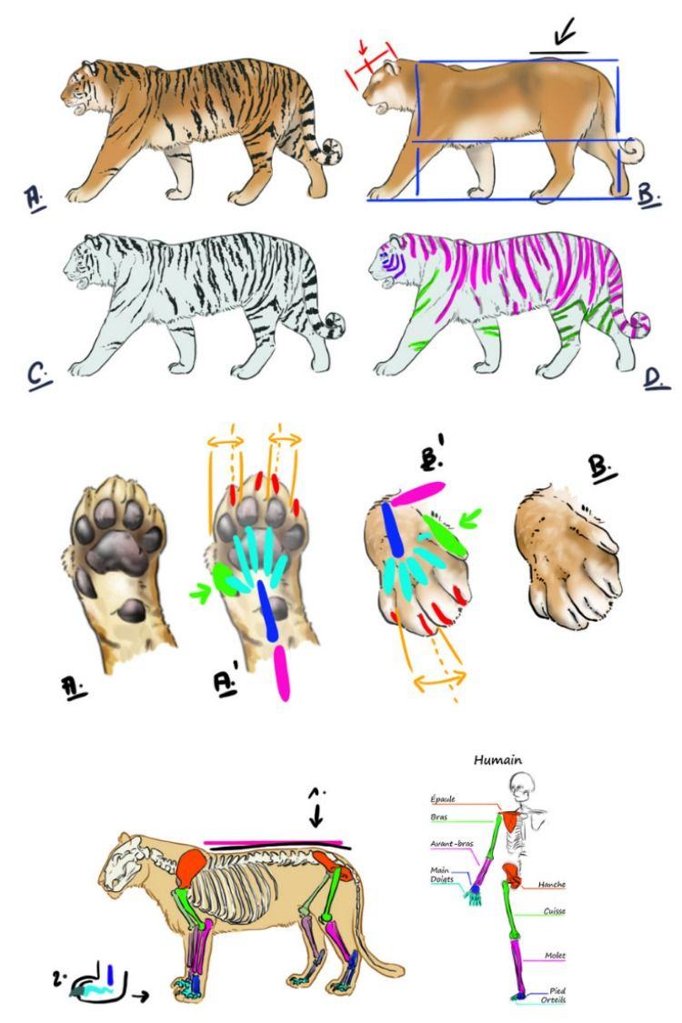 Comment Dessiner Un Tigre Comment Dessiner Un Tigre Dessin Tigre Dessin