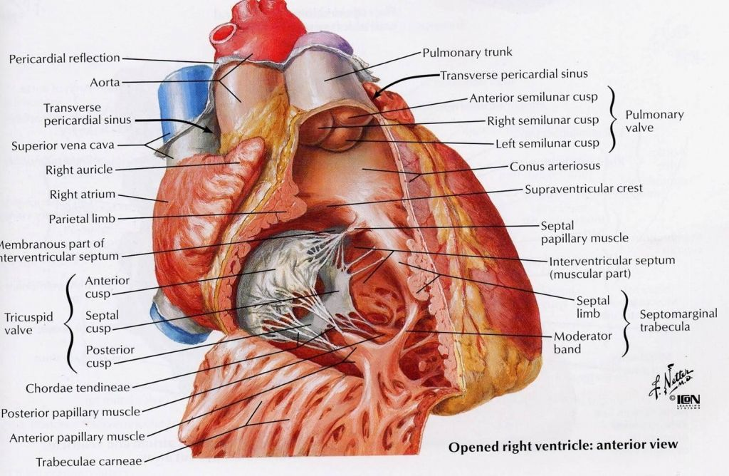 Anatomy Of Right Ventricle Functional Anatomy Of The Heart At New ...