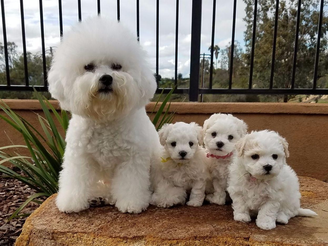Holiday Bichons Bing Images Bichon Bichon Frise Puppies And Kitties