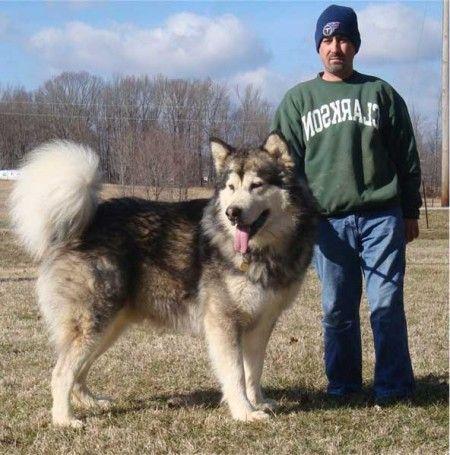 10 Largest Dog Breeds Worlds Largest Dog Large Dog Breeds Dog