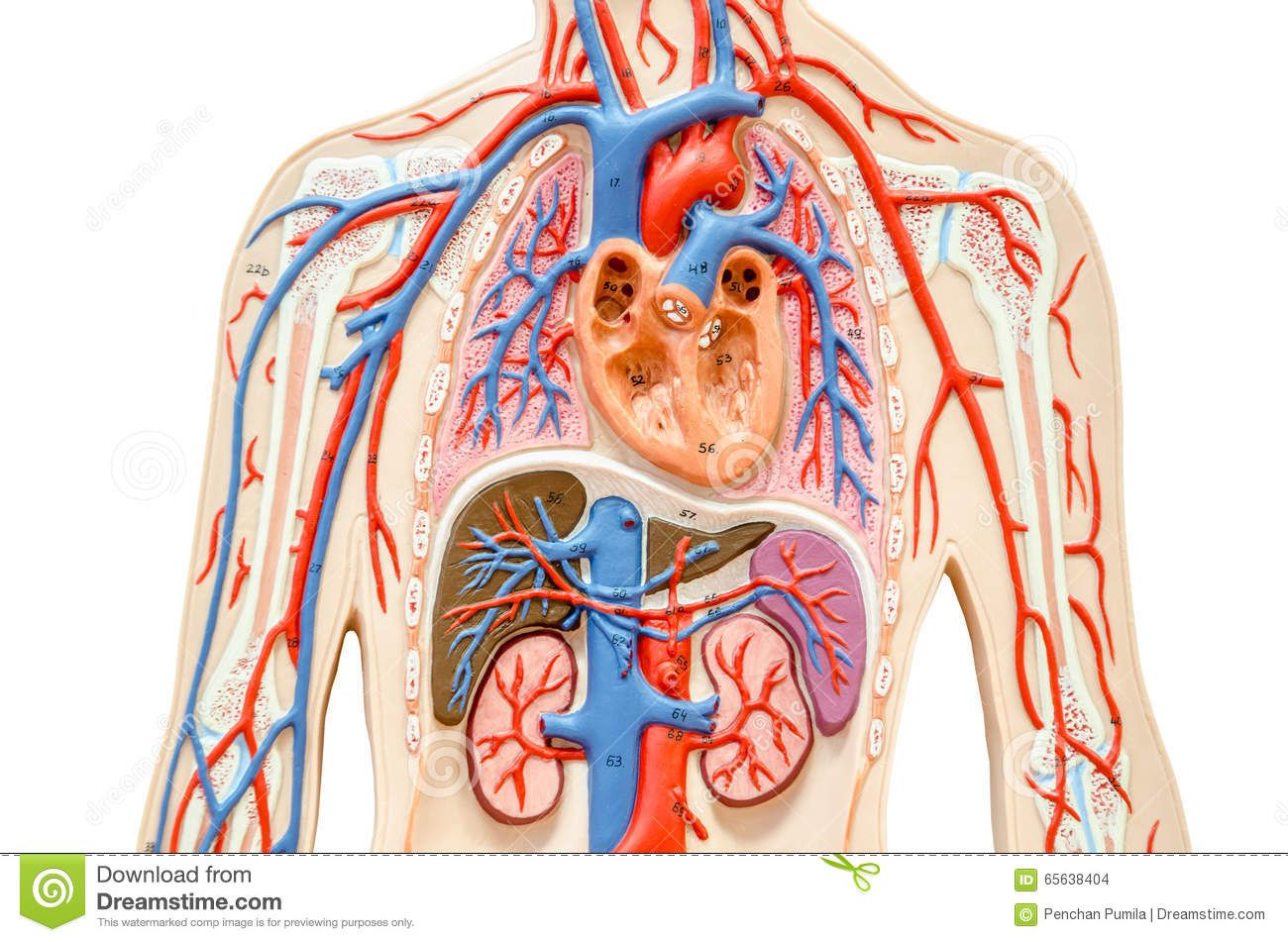 Heart And Lungs Diagram