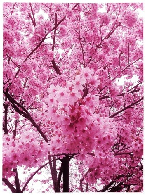 Where To See Cherry Blossoms In Japan In Spring Passion Passport Cherry Blossom Japan Cherry Blossom Blossom