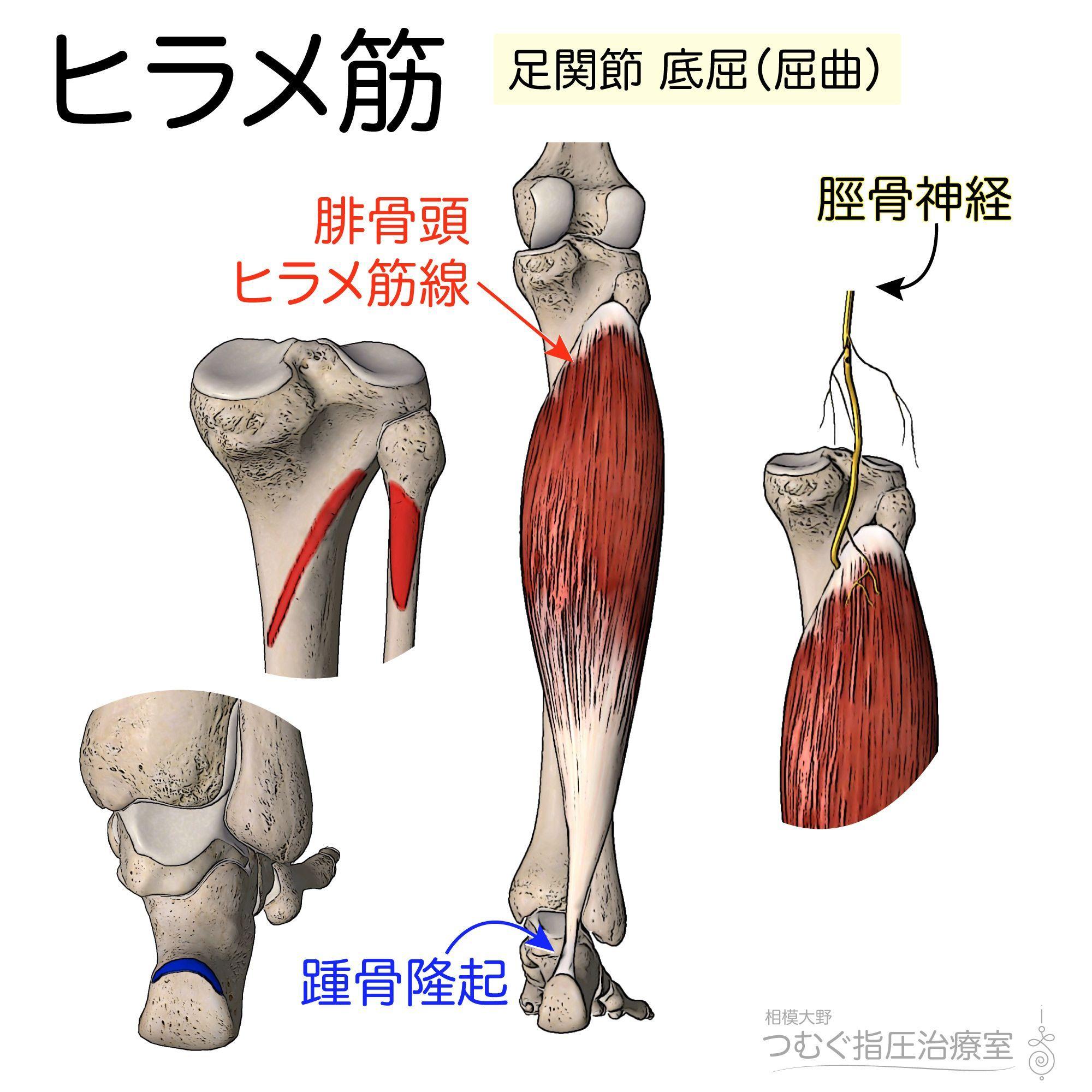 筋シリーズ】ヒラメ筋 ヒラメ筋は腓腹筋とともに下腿三頭筋を構成する ...