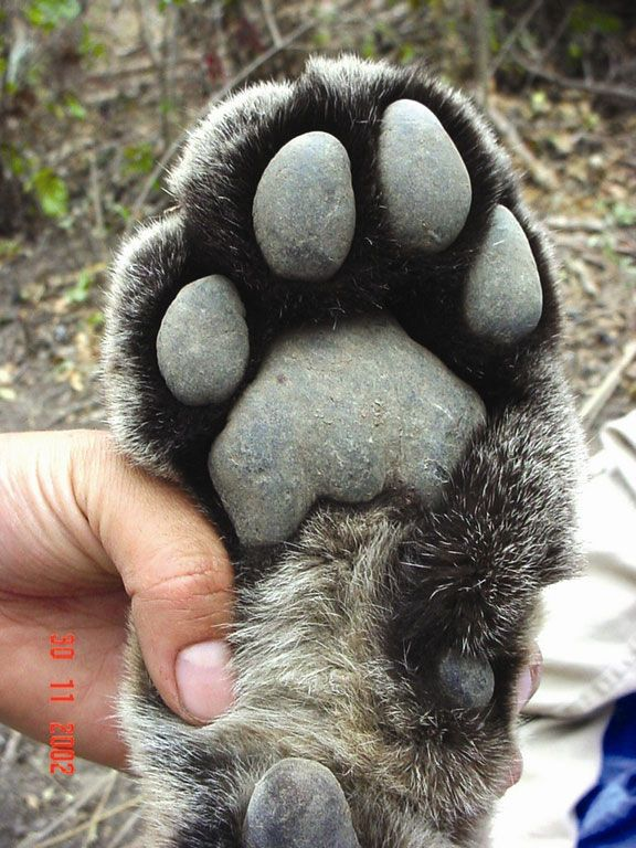 Big cat paws! These pawfect pads belong to a jaguar. | The 20 Cutest Pictures Of…