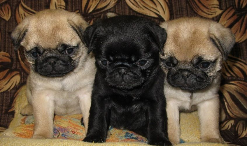 Cute Black Fawn Pug Puppies Pug Puppies Puppies And Kitties
