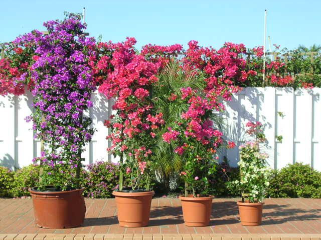 Order Now Bougainvilleas Com In 2020 Bougainvillea Trellis Bougainvillea Colors Bougainvillea