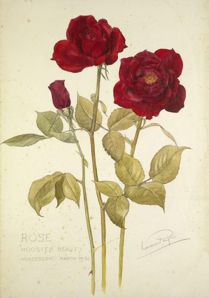 The Language Of Love Red Rose Beauty A Rose Has Long Been