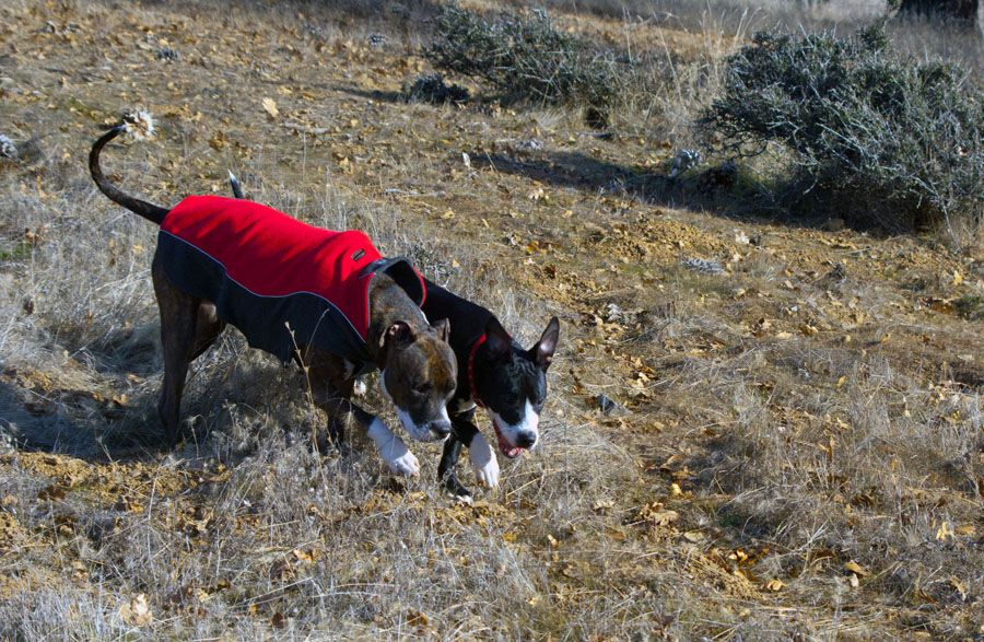 Canine Drill Team-Synchronized Walking Division.  Photo by Roxanne Wigglesworth