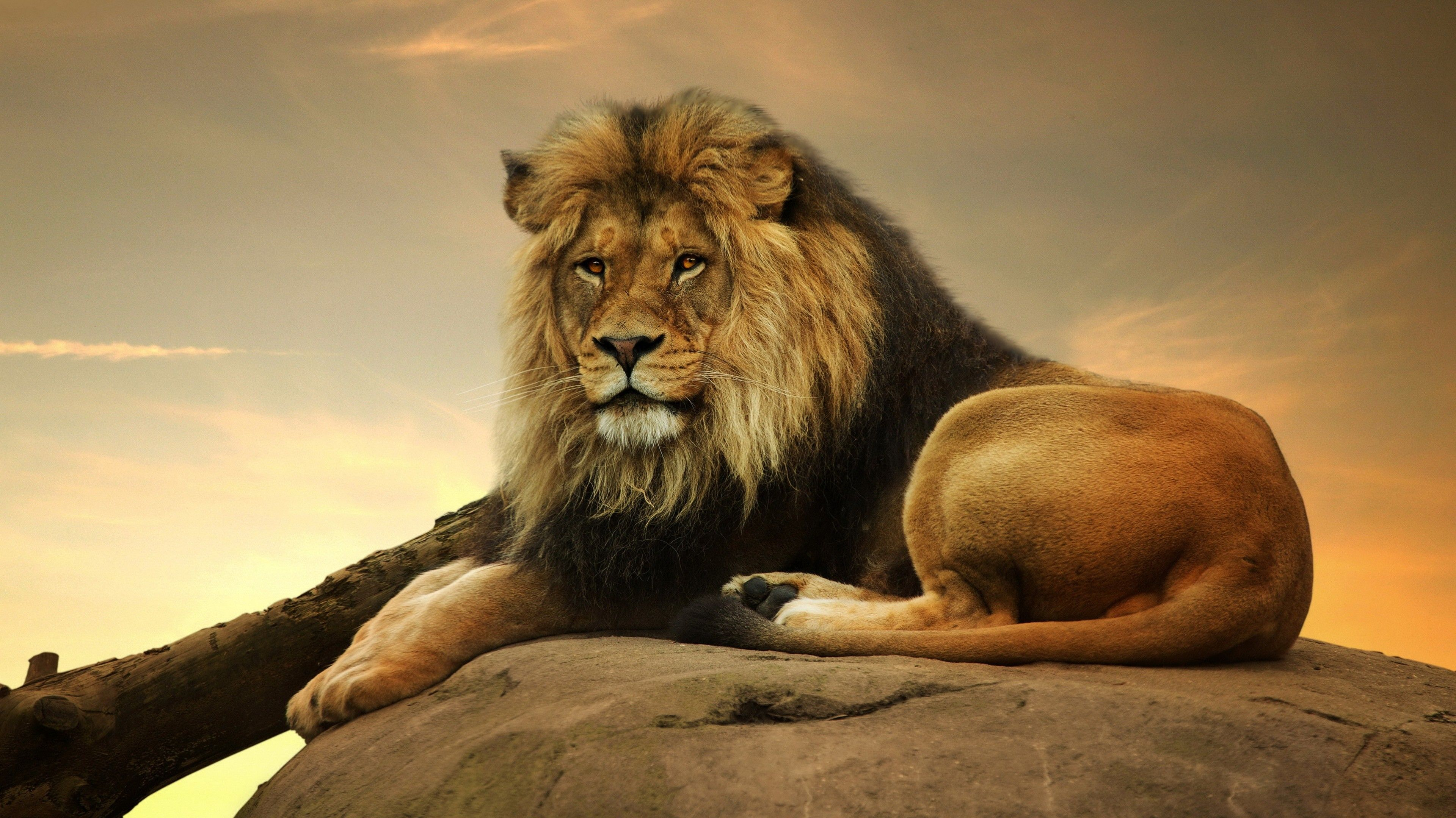 Res 3840x2160 Male Lion 4k Resolution Desktop Wallpaper Hd Background Wallpapers Amazing Cool Tablet Smart Phone 4k Hi In 2020 Male Lion Lion Painting Lion Pictures