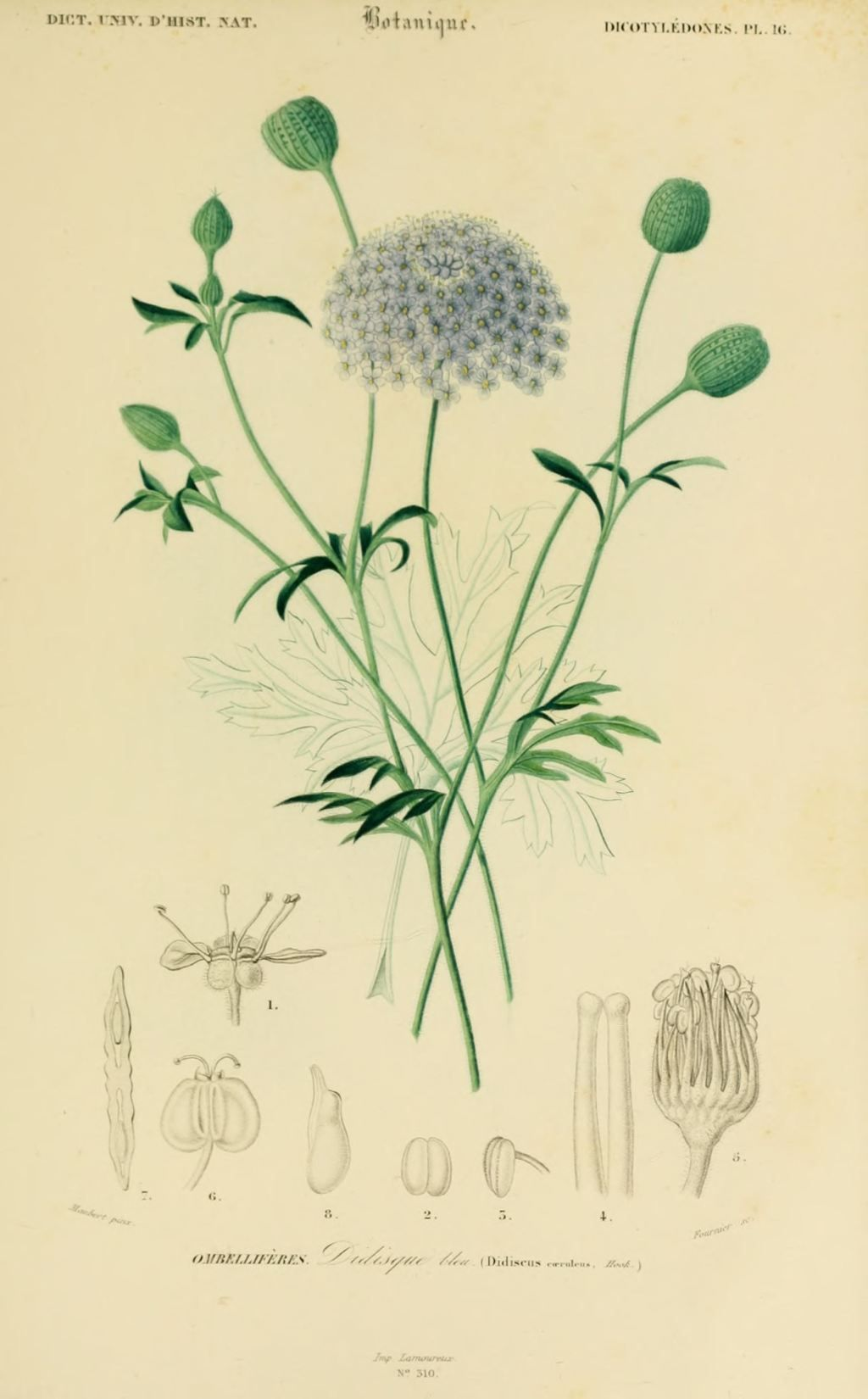 img dessins couleur fleurs dessin botanique de fleur 0173 didisque bleu didiscus. Black Bedroom Furniture Sets. Home Design Ideas