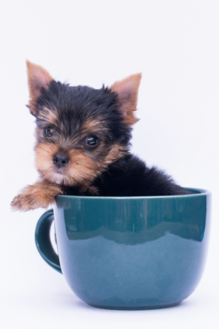 Little Yorkie Good Health Yorkshire Terrier Teacup Sit In The