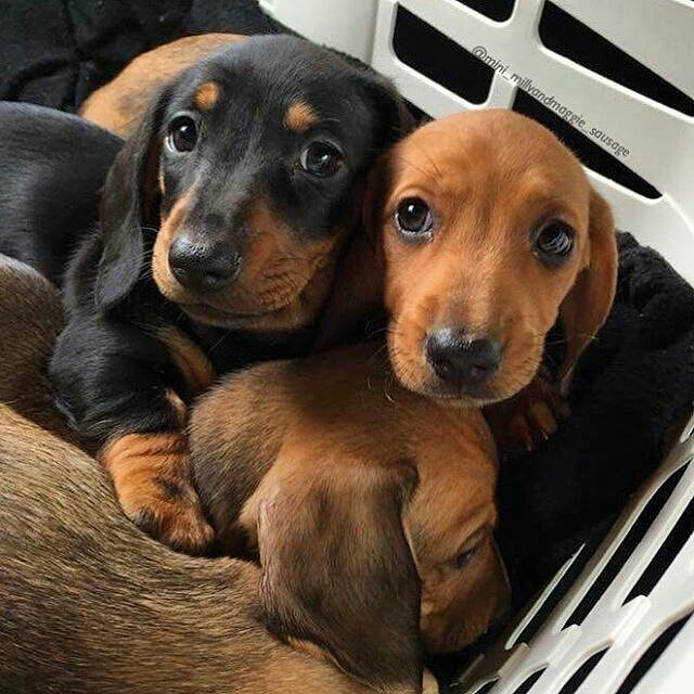 Two Mini Dachshunds Are My Dream Wish Dachshund Dog