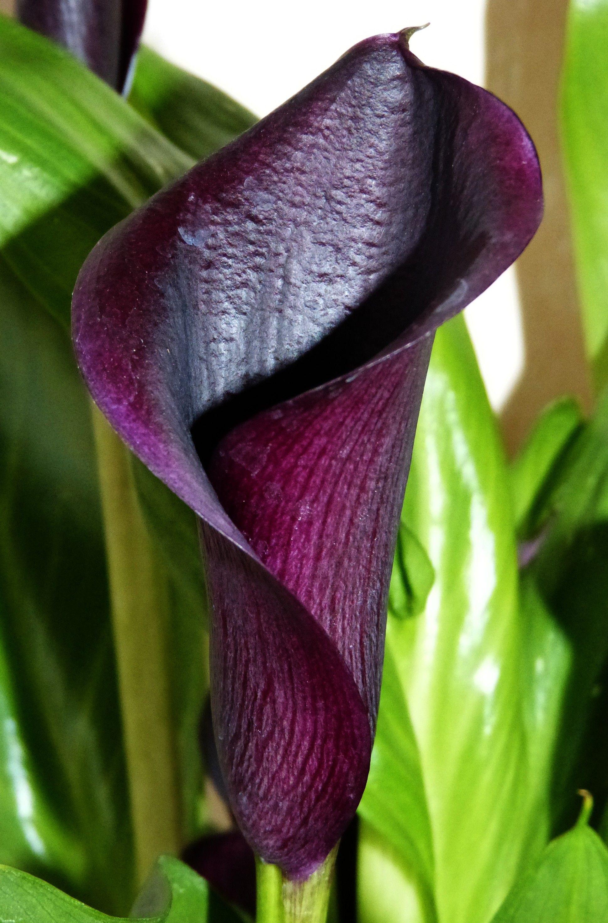 arum calla zantedeschia violet noir | passion fleurs | zantedeschia