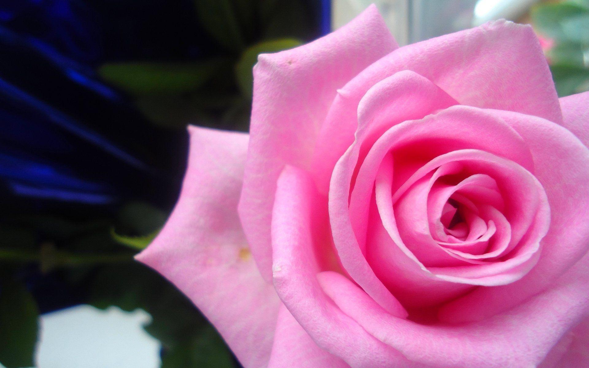 Light Pink Roses Wallpaper Wedding Pinterest