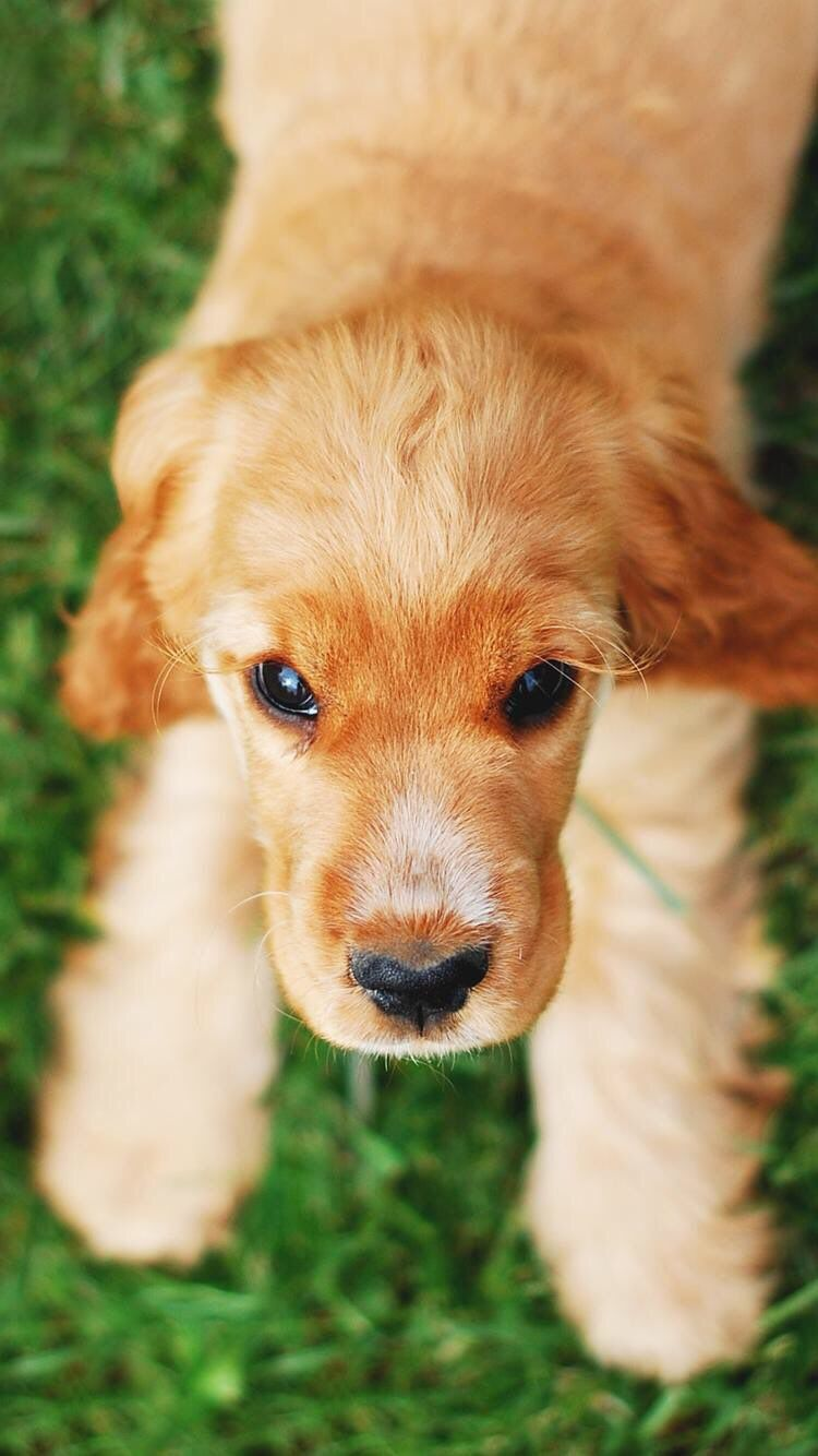 Iphone And Android Wallpapers Cute Puppy Dog Wallpaper For Iphone