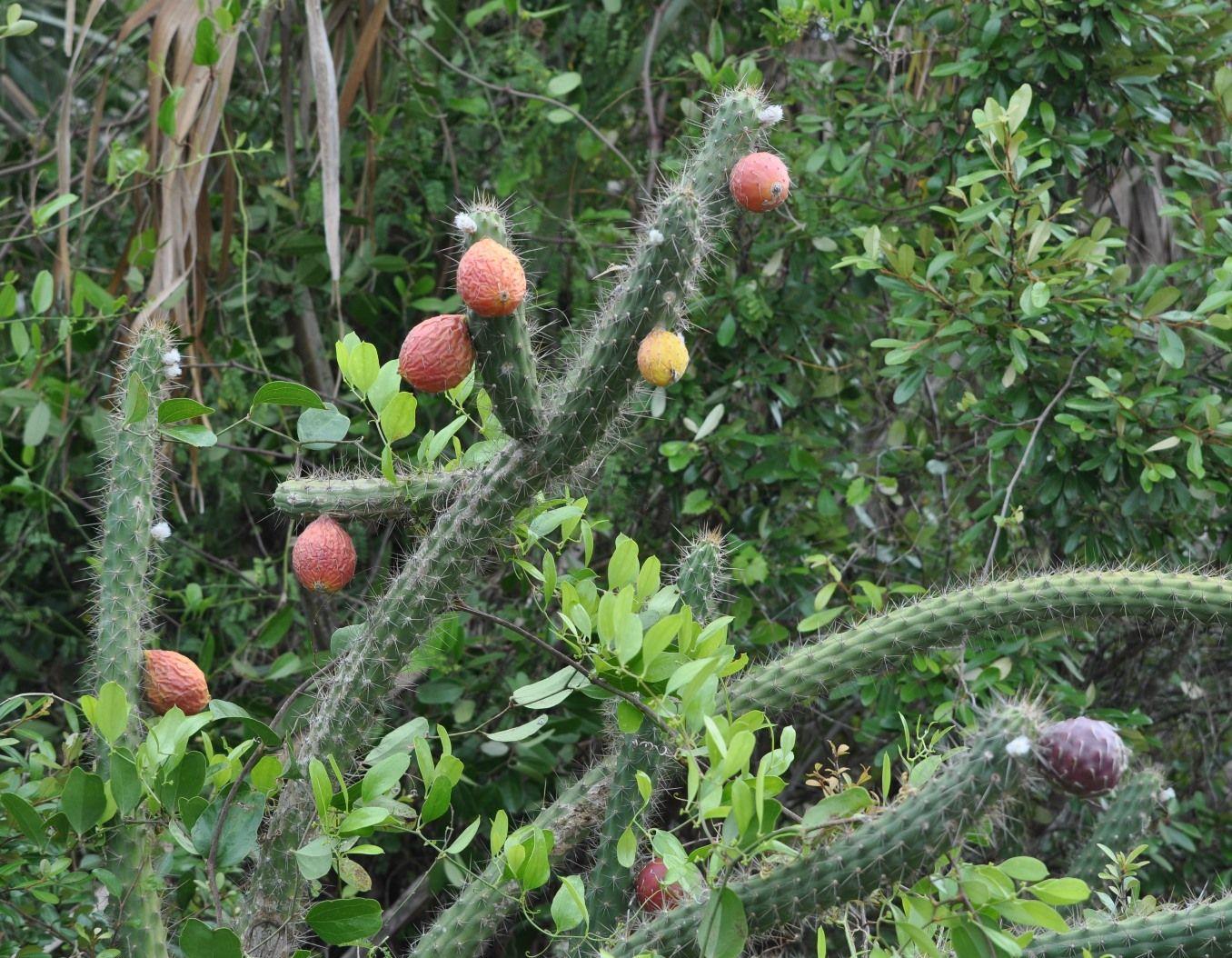 Fragrant prickly apple (Cereus eriophorus var  fragrans), a