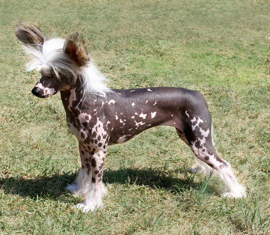 : dog chinese crested dog hairless photographs , dog ...