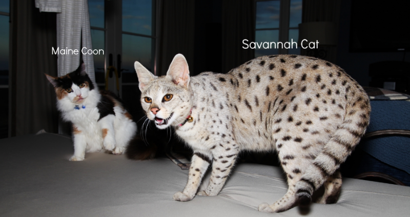 Picture F1 Savannah Cat Compared To Domestic Cat Savannah Cat