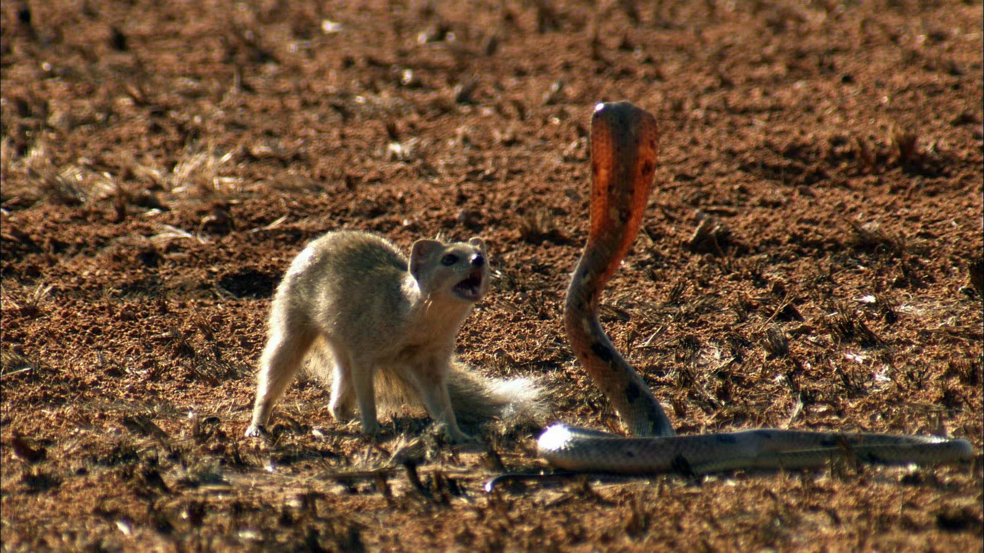 Mongoose Vs. Cobra Mongoose, Battersea dogs, Animal facts