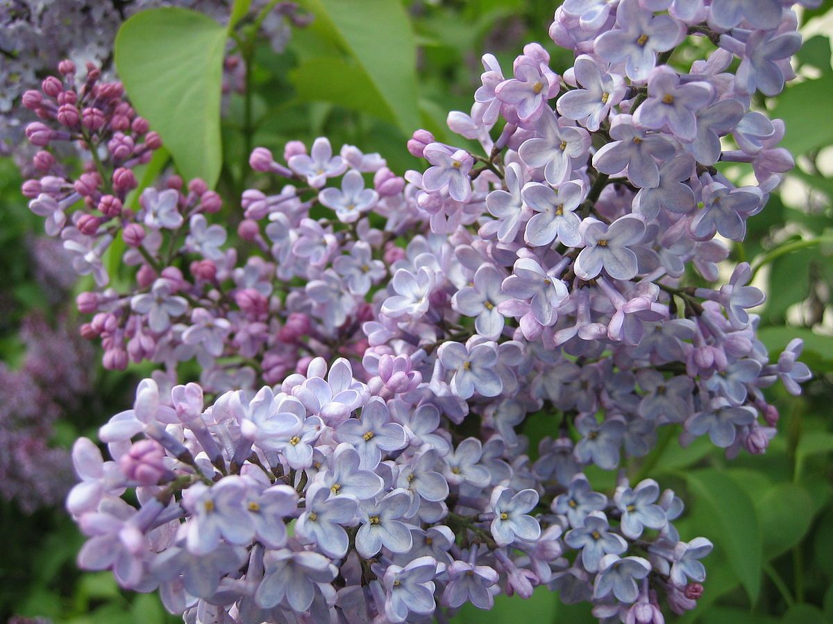 Syringa Wikipedia Lilac Gardening
