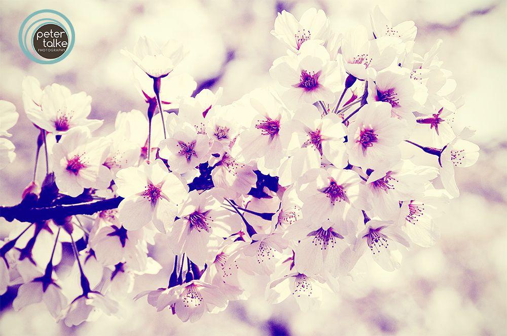Cherry Blossoms Places 2 Explore Cherry Blossom Blossom Flowers