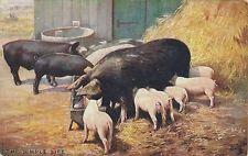 POSTCARD  ANIMALS   PIGS             Tuck