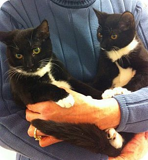 Waterbury Ct Domestic Shorthair Meet Coal Pet Adoption Pets Dog Cat