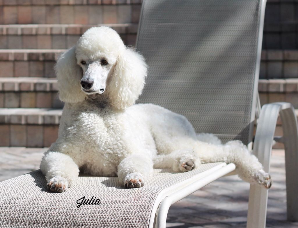 Julia Sunbathing On The Lounge Chair Pretty Poodles Poodle Dog