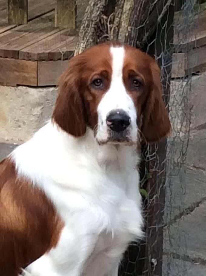 Irish Red & White Setter Puppies Due ...   Red and white ...