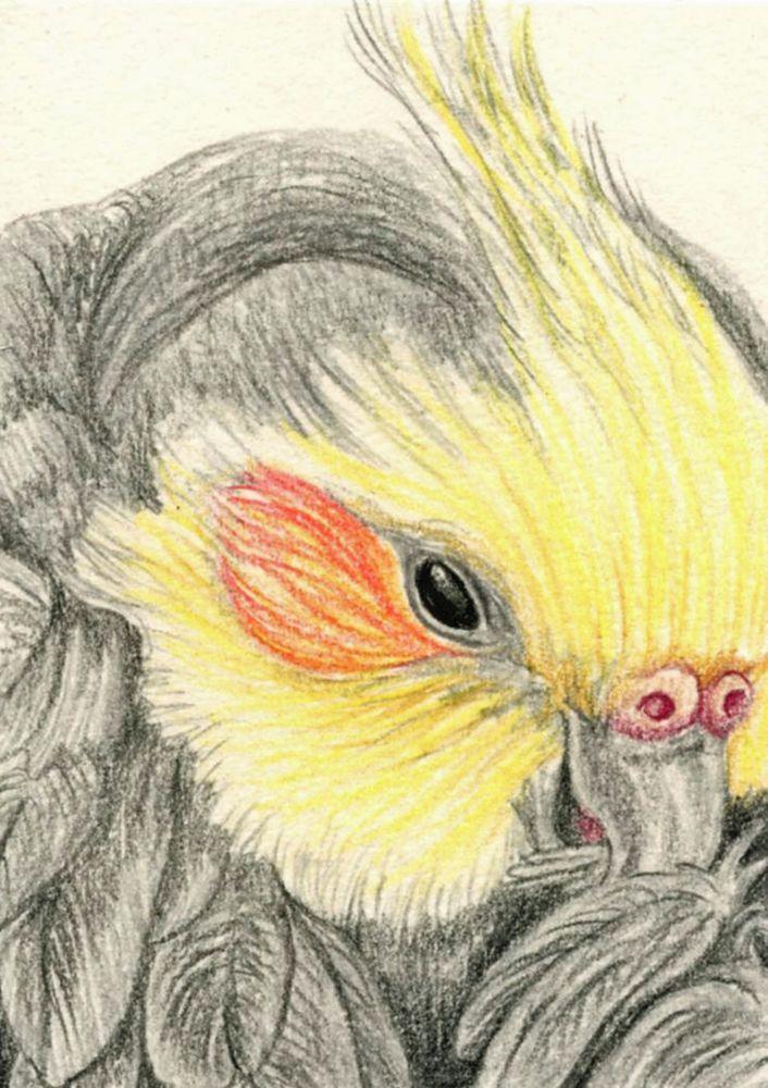 ACEO ATC Cockatiel Bird Pet Art Original Pencil Painting-Carla Smale #Realism