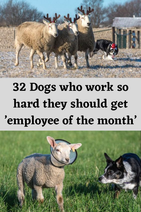 32 Dogs who work so hard they should get 'employee of the