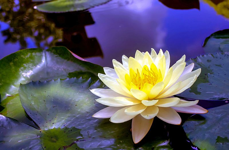 Aquatic plants and flowers flower flowers and beautiful flowers aquatic plants and flowers mightylinksfo