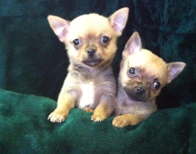 Chihuahuas Fish And Pets Pet Shop Hendersonvillepetshop Com