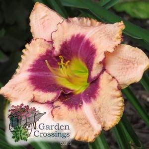 Hemerocallis 'Daring Deception' (Daylily)Beautiful ruffled rebloomer