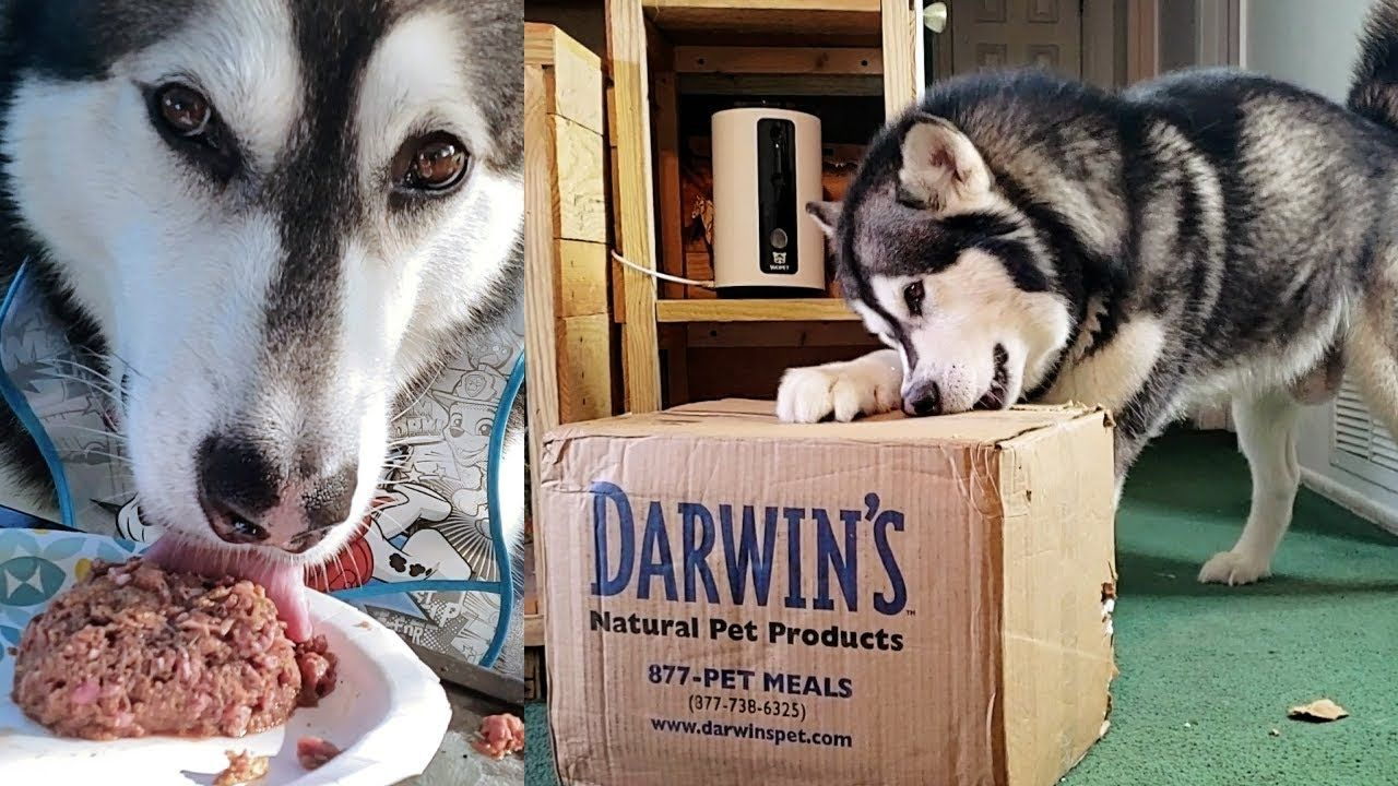 My Dog Unboxing Eating Raw Darwin S Natural Pet Food