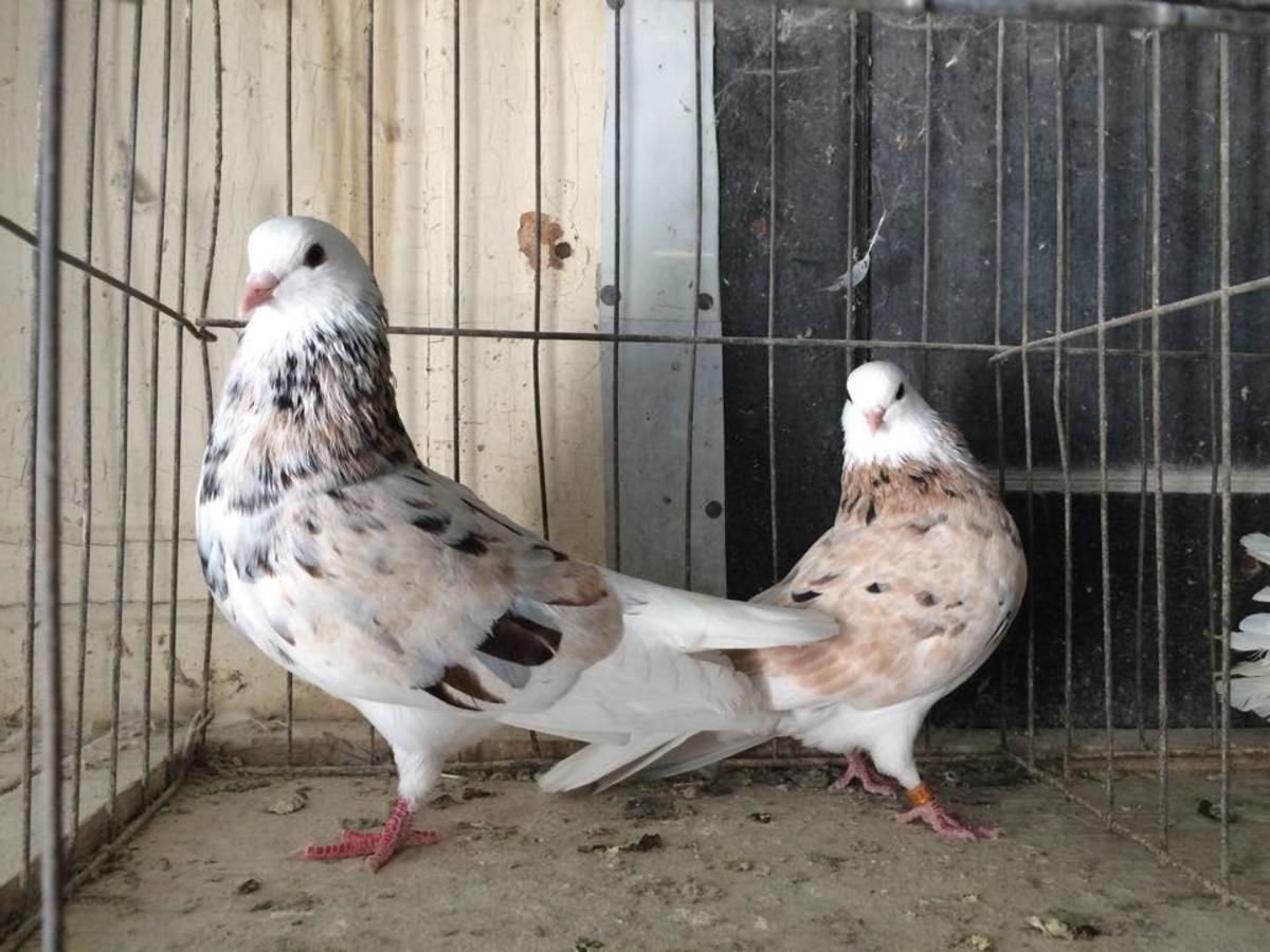 Nice Pair Of Almond Bald Head Birmingham Roller Pigeons