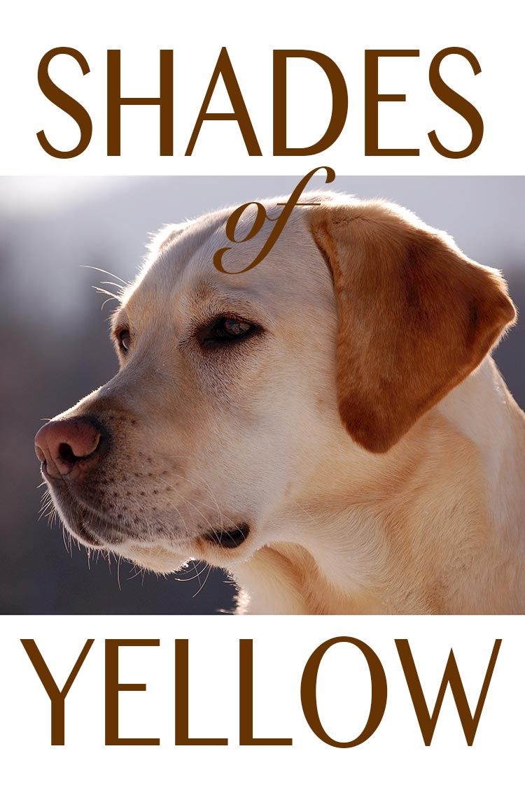 Shades Of Yellow Labradors Yellow Labrador Retriever Yellow Lab Puppies Labrador Dog